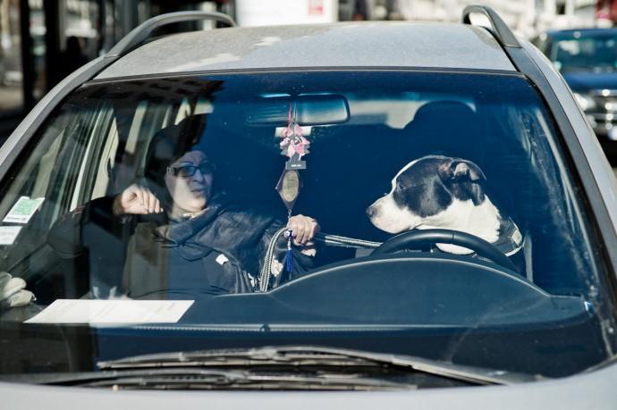 Driving dog Yanidel